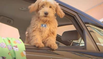 3 best ways to command your dog to get into your car