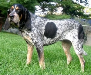 best coon hunting dogs