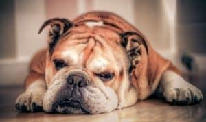lazy dogs breeds