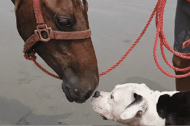 best dog breeds for horses